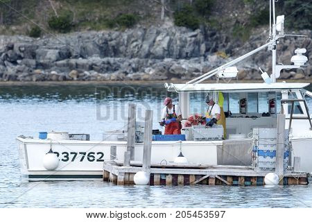 Bar Harbor Maine USA - 28 July 2017: Lobstermen sorting their freshly caught lobsters before selling their hard days work at the docks in Bar Harbor Maine.