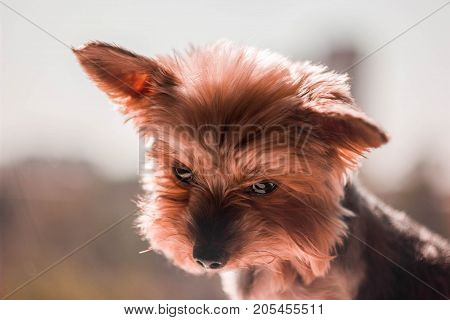 Small and sweet puppy Yorkie waiting your attantion