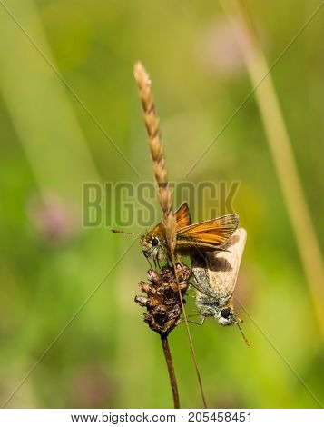 Male and female Small Skipper butterflies mating on a piece of grass in a nature reserve in Cornwall, UK