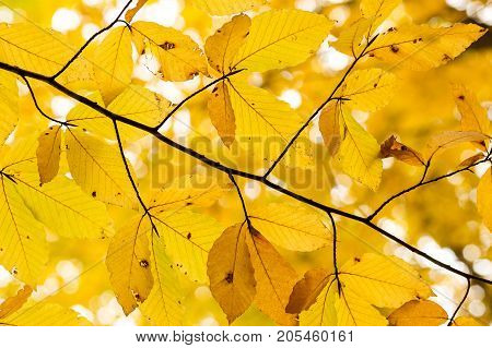 season, botany, background concept. bright yellow leaves of elongated forms with dark dots of burns and even with holes that was made by ruthless summer sun