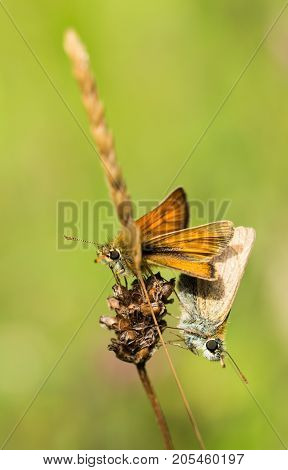 Male and female Small Skipper Butterflies mating on a grass in a nature reserve in Cornwall UK