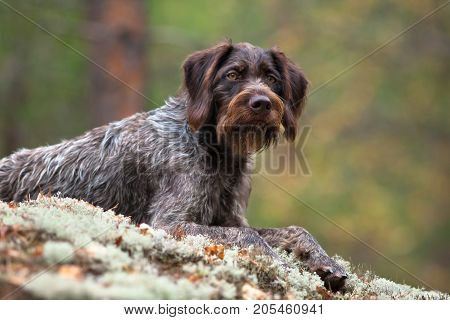 hunting dog german wirehaired pointer on blurred background