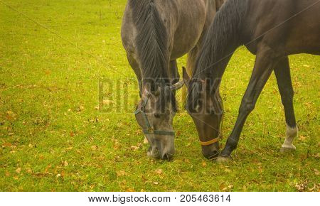 Two horse eating grass on an autumn day
