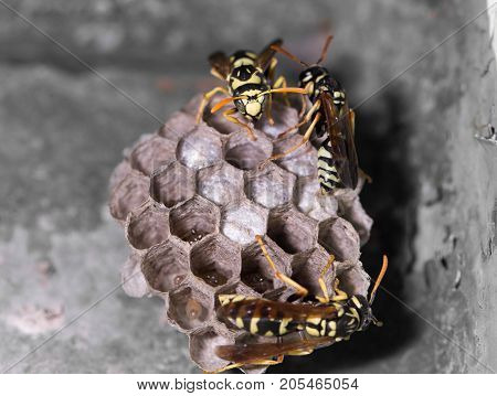 Wasp Nest with Pupae . In the park in nature