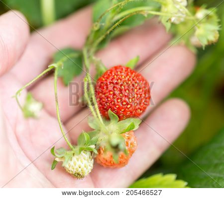 strawberry in nature. macro . In the park in nature