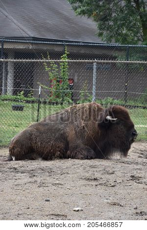 A Large Lonely Bison at a Zoo