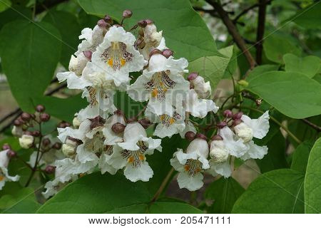 Trumpet Shaped White With Yellow Spots Flowers Of Catalpa