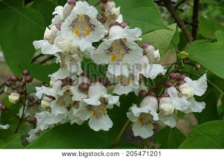 White Flowers Of Catalpa In Broad Panicles