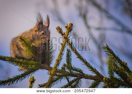 Cute squirrel sitting to the left on a spruce branch