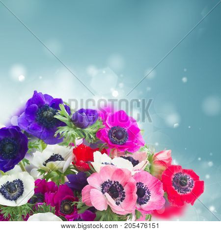 Fresh colorful Anemones fresh flowers posy over blue bokeh background