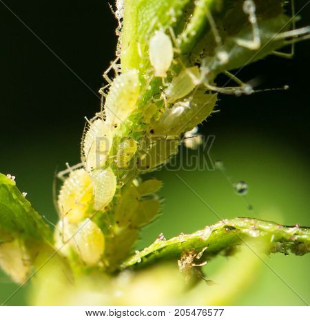 Aphid Infestation . In the park in nature