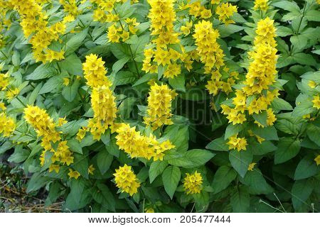Lysimachia In Full Bloom In Mid June