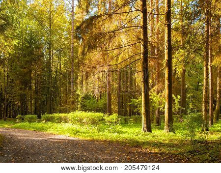 Autumn forest landscape with autumn trees in the forest in sunny autumn weather. Sunny autumn forest nature. Forest autumn trees lit by sunlight. Autumn forest landscape scene. Autumn in the forest