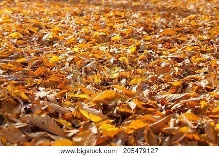 Golden autumn leaves on the ground, sunny .