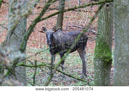 Young elk in Germany forest at day