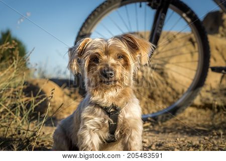 dog resting during a trip in the countryside, a bicycle behind blur, Yorkshire Terrier brown Doggy.