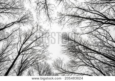 Branches of tree tops textured winter forest background black white