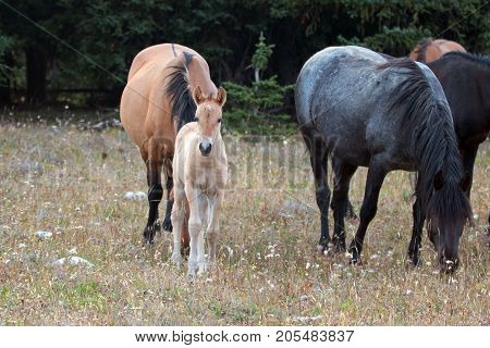 Wild Horses - Baby foal colt (dun coloring) with mother and herd in the Pryor Mountains Wild Horse Range on the border of Montana and Wyoming United States