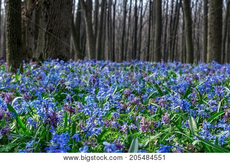 Forest with blue scilla flowers spring landscape