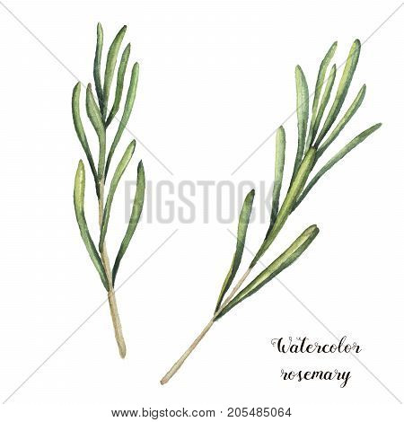 Watercolor rosemary. Hand painted rosemary branch isolated on white background. Floral botanical clip art for design or print