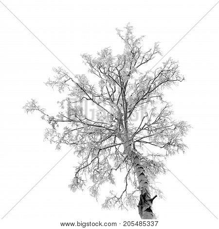 Birch tree under snow isolated branch white background