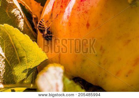 European Common Wasp (vespula Vulgaris) Damaging Apple In The Orchard. Macro Photo