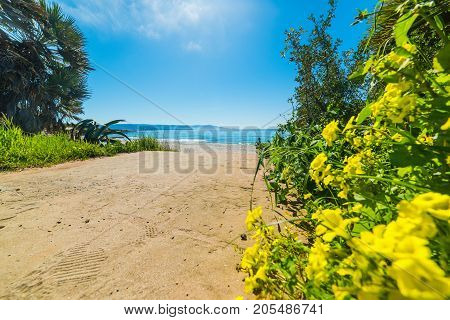 Flowers in Le Bombarde beach in Sardinia