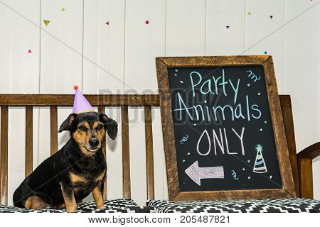 A cute Dachshund at a party animal theme party.