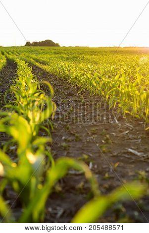 Corn field. Agriculture. rural scene.  Farm cultivated.