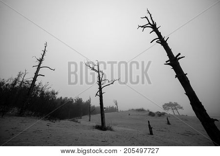 Dark silhouette of dead dry forest. Ecological, life concept.