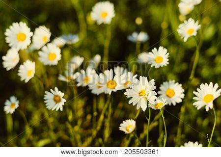 Summer travel inspirational background with chamomile over sunset,copyspace,golden vintage light,view above