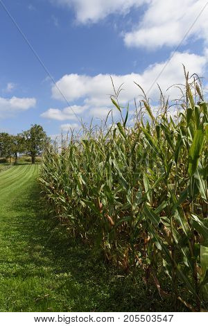 Corn Field with Pretty Sky in Late Summer