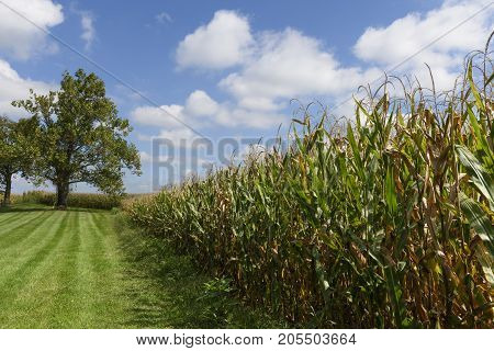 Farm Field of Corn in Late Summer