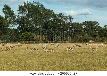 Herd Of Sheep Grazing On A Grassy Field On A Sunny Day In Normandy, France. Sheep Breeding, Industri