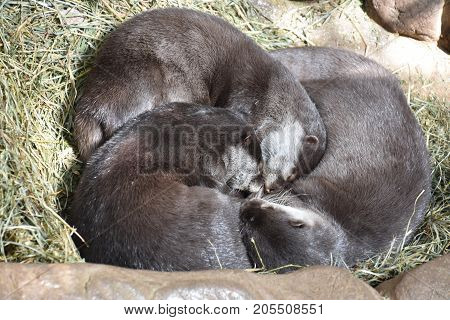 Cute Little Otter Cuddling In A Zoo