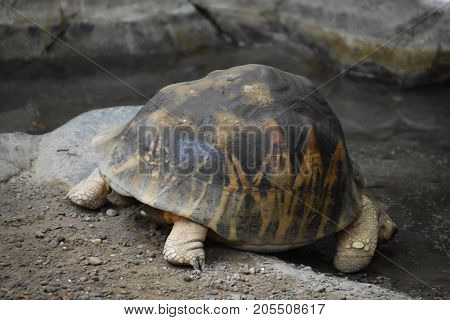 A Slow Moving Turtle In A Zoo