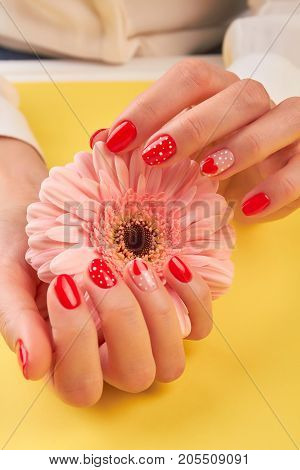 Gentle gerbera in female hands. Woman hands with red patterned manicure holding peach color gerbera.