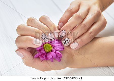 Little pink chrysanthemum in female hands. Gentle woman hands with beautiful nude patterned manicure holding chrysanthemum. Skin and nail treatment.