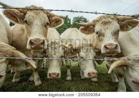 Cows Grazing On A Green Grassy Field On A Sunny Day, Normandy, France. Cattle Breeding, Industrial A
