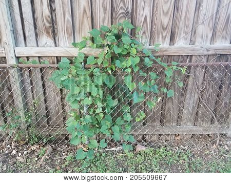 green vine growing on a metal chain link fence