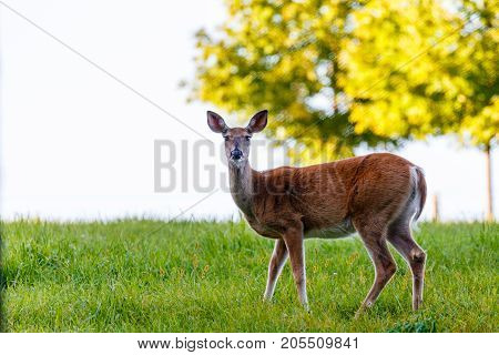 Female White-tail deer (odocoileus virginianus) standing in a field in late summer