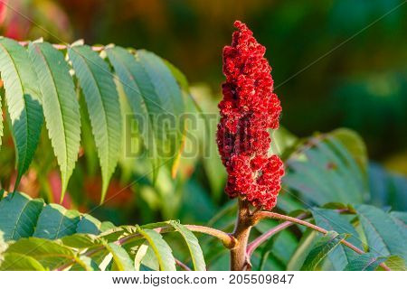 Staghorn Sumac (Rhus typhina) Red drupe blossom in late summer