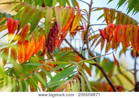 Red drupe fruit on a Staghorn Sumac (Rhus typhina) in late summer