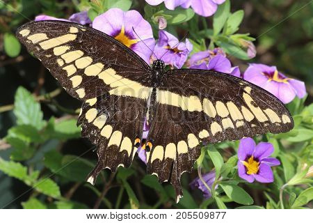 Giant Swallowtail Butterfly (Papilio cresphontes) on purple flowers