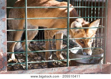 Fox contained in a cage cruelty to animals
