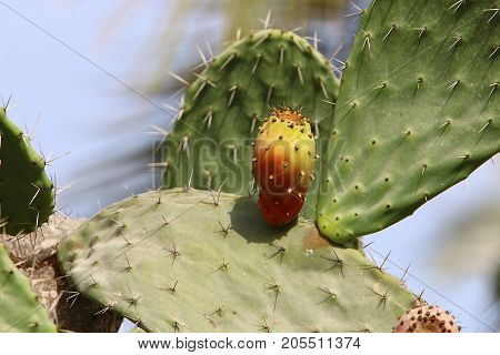 In the garden in the north of Israel grew a large and prickly cactus