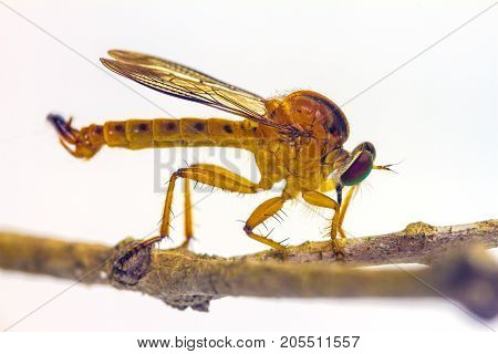 Robber Fly On Branch Isolated On White Background