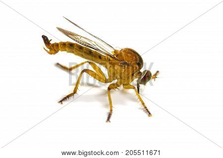 Robber Fly Isolated On White Background