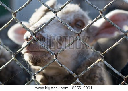 Close-up of a sheep behind bars the life of animals in captivity