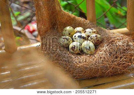 quail eggs in a nest of hay.